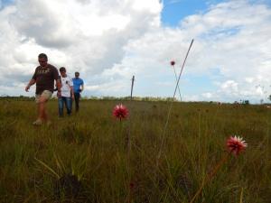 Cinco kilómetros al sur del aeropuerto César Gaviria Trujillo crece la flor de Inírida, que le da su nombre a la capital del departamento del Guainía. Foto: Juan Uribe