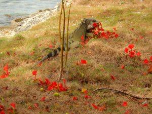 El almuerzo está servido para esta iguana: flores rojas de un árbol llamado uvita de playa. Foto: Juan Uribe