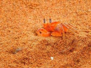 Los cangrejos colorados adornan la playa de Huina. Foto: Juan Uribe